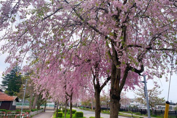 枝垂れ桜はまだまだ見頃です(^^)